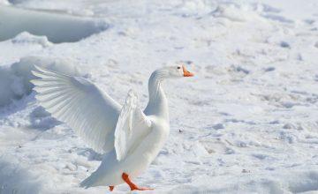 Keine blöde Gans! Canada Goose